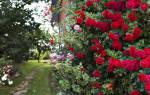 Розы рамблеры сорта фото