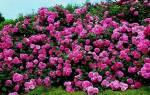 Происхождение и селекция почвопокровных роз