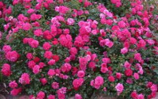 Почвопокровные розы цветущие все лето