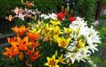 Выращивание лилий в саду советы цветоводам