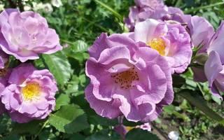 Роза айз фо ю