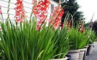 Выгонка гладиолусов в домашних условиях