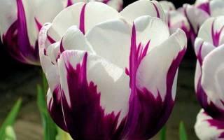 Сорта и гибриды тюльпанов