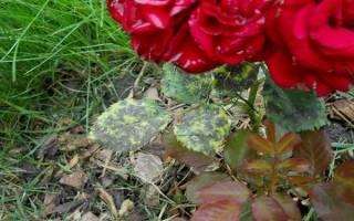 Черная пятнистость роз как бороться