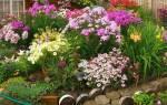 Садовый цветок флокс однолетний выращивание из семян и уход