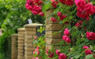 Розы вьющиеся сорта фото