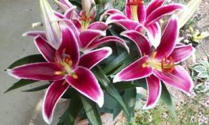 Восточные гибриды лилий  сорта и описание