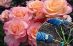 Посадка роз осенью с закрытой корневой системой
