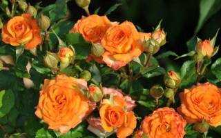 Роза клементина описание