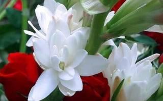 Цветок тубероза фото сортов