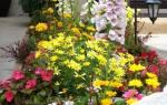 Низкорослые однолетние цветы которые цветут все лето