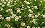 Клевер белый описание растения