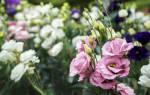 Выращивание эустомы из семян сорта и особенности ухода