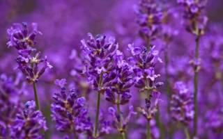 Однолетники с фиолетовыми цветками