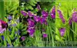 Видовое разнообразие гладиолусов