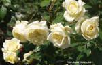 Роза плетистая рамблер
