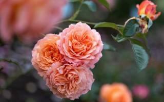 Розы шрабы сорта фото