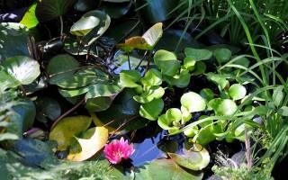 Водные растения для искусственного пруда