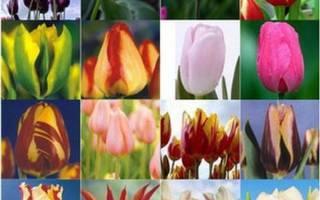 Тюльпан апельдорн фото