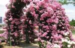 Розы плетистые и вьющиеся отличие