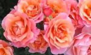 Роза крем абунданс