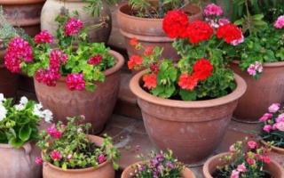 Цветы в вазонах фото и название