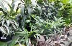Декоративно лиственные цветы