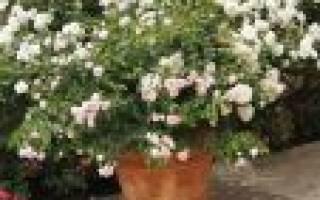 Размножение комнатных роз черенками в домашних условиях