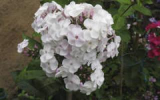 Флокс пятнистый phlox maculata