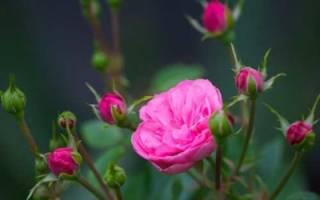 Разведение роз семенами