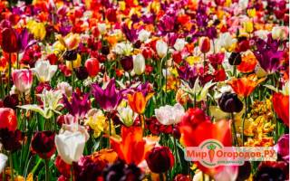 Систематика рода тюльпан