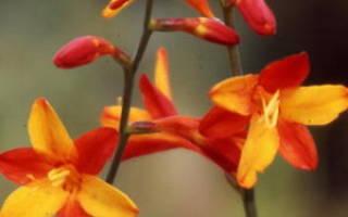 Африканский цветок Крокосмия
