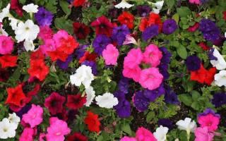 Как собирать семена петунии с цветущих растений