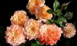 Самые красивые сорта роз с обильным цветением