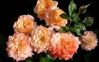 Что такое розы постоянного цветения