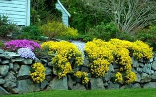 Желтые многолетники цветущие весной