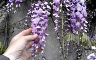 Глициния посадка и выращивание из семян уход фото