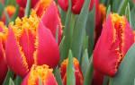 Фото тюльпанов в хорошем качестве