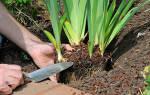 Ирисы выращивание и уход