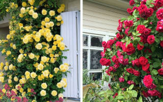Розы без шипов сорта фото