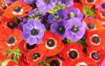 Клубневые цветы с названиями и фото