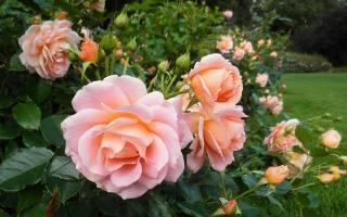 Роза гейша фото описание