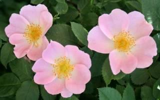 Роза канина описание