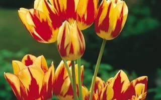 Особенности выращивания многоцветковых тюльпанов