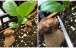 Как размножать георгины