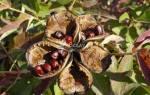 Выращивание пионов и уход за ними в саду