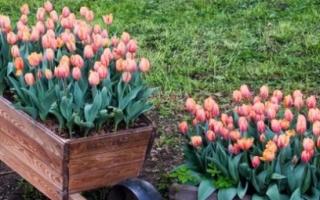 Как правильно садить тюльпаны