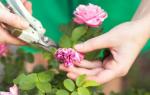 Розы садовые уход и выращивание