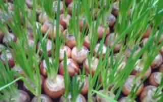 Выращивание лука на перо в теплице зимой