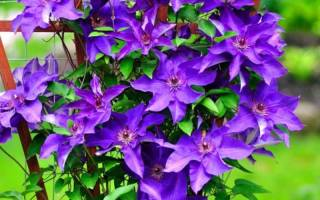 Клематисы описание цветов
